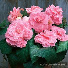 Picotee Lace Pink Plant
