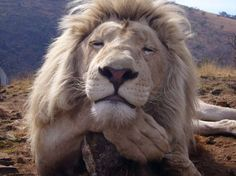 Picture with kind permission from Kevin Richardson - The Lion Whisperer