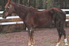 Skinny horse with outline of ribs showing. See how you can help horses in need...Share...