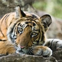 6 Endangered Animals That Poachers Are Hunting into Extinction Beautiful Creatures, Animals Beautiful, Vulnerable Species, Tiger Love, African Safari, Photographic Prints, Wildlife Photography, Animal Kingdom, Hunting