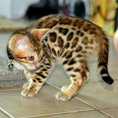 """cute-overload: """" Spotted kitten http://cute-overload.tumblr.com """""""