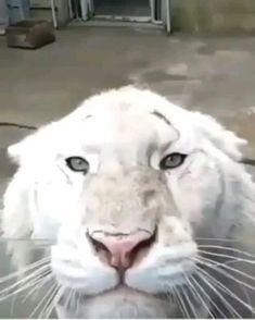 Cute Wild Animals, Super Cute Animals, Cute Little Animals, Cute Funny Animals, Animals And Pets, Cute Cats, Pretty Cats, Beautiful Cats, Animals Beautiful