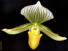 Hongkong - Green and Yellow Paphiopedilum Maudiae Orchid