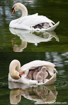 Cute Baby duck with Momma Duck