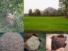 Validated and Potential Medicinal Rice Formulations for Diabetes Type 2 and Leukemia Complications (TH Group-196) from Pankaj Oudhia's Medicinal Plant Database