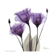 Art.com - Royal Purple Gentian Trio Art Print - Love the transparency