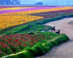 ..more views meadows mimicing a fine quilted  blanket flowers Carlsbad, CA  ahhhh so pretty~ ~*~moonmistgirl~*~