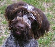 Wirehaired Pointing Griffon - best breed!