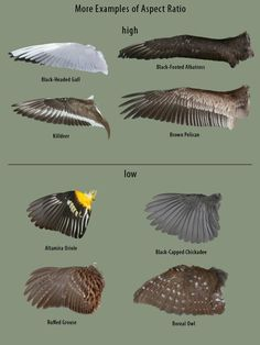 Bird wings anatomy design reference 48 ideas for 2019 Anatomy Reference, Art Reference, Wing Anatomy, Feather Anatomy, Wings Drawing, Wings Sketch, Illustrator, Historia Natural, Paper Birds