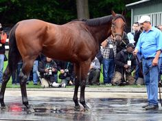 american pharoah wins Belmont with ease American Pharoah officially won the Belmont Stakes by five and a half lengths, the third largest winning margin in a Triple Crown race. Analysts say it wasn't a question of if he was going to win, but by what distance.