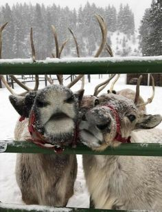 Christmas Mood, Merry Little Christmas, Reindeer Christmas, Magical Christmas, Christmas Baby, Animals And Pets, Cute Animals, I Love Winter, Winter Scenery