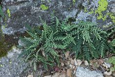 Cheilanthes gracillima - Flickr - Photo Sharing!