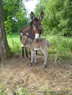 If you wonder what a donkey can eat, you can find all important feeding facts here. Take good care of your donkey with best information. Baby Donkey, Cute Donkey, Mini Donkey, Baby Cows, Cute Baby Animals, Farm Animals, Animals And Pets, Beautiful Horses, Animals Beautiful