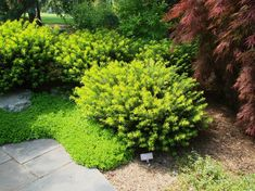 Cephalotaxus harringtonia Duke Gardens - The Site Gardener Plant combo: dwarf yew, maple, sedum