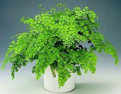 Maidenhair fern Botanical Pronunciation: N-tum rah-dee-AH-num Ficus Pumila, Indoor Garden, Indoor Plants, Tree Psd, Fern Flower, Green Scenery, Maidenhair Fern, Ferns Garden, Terrarium