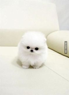 Teacup Pomeranian!