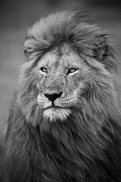 Grey Lion Photograph Lion Print Fine Art by nubesdepapel on Etsy Lion Images, Lion Pictures, Lion Wallpaper, Animal Wallpaper, Lion Facts, Lions Live, Lion Photography, Lions Photos, Lion Tattoo Design