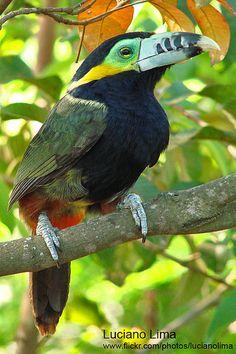 Spot-Billed Toucanet, Central/South America