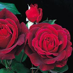 Mister Lincoln   David Austin Recommended Variety    CategoryBush Roses   (Hybrid Tea Roses)  Bred BySwim  ColorRed / Crimson  Flower TypeDouble/Full Bloom  Size Tall Bush  HardinessHardy  FragranceStrong  Strong  RepeatingGood  Special Characteristics4 ft.