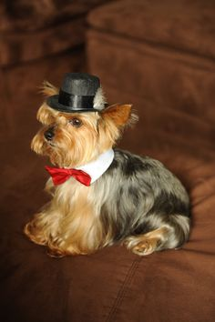 Dog Hat for x small breed Fedora top hat style with feather Yorkies, Yorkie Dogs, Cute Puppies, Cute Dogs, Dogs And Puppies, Small Dog Breeds, Small Dogs, Small Breed, Little Dogs