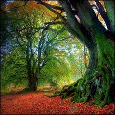 Autumn Beech in Kinclaven, Scotland