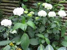 This white hydrangea which I got from a friend (Rikke!) was split last year due to getting too large. It was rather violently split into 3 by my husband and a spade - but luckily all 3 parts made it