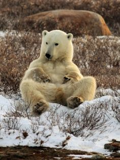 Today is a great day, not only for all animal friends in Dalecarlia, Sweden and around the world, but also for all polar bears. Polar World is...