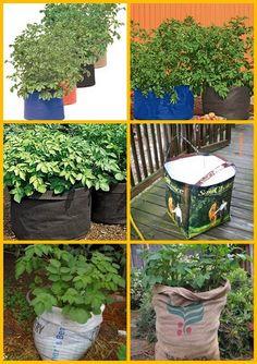 coltiva le patate in contenitore