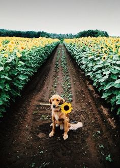 Mister Woof Loves... #dogs #sunflower