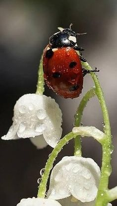 LadyBug wet with dew. Either a large lady bug, or a teeny tiny flower! Beautiful Bugs, Amazing Nature, Beautiful World, Beautiful Flowers, White Flowers, Rain Flowers, Simply Beautiful, Red Roses, Beautiful Creatures