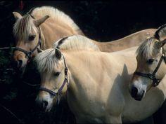 Three Norwegian Fjords in the Shadows; Very Nice Looking. Horse Girl, Horse Love, Pretty Horses, Beautiful Horses, Fjord Horse, Balcony Railing, Animal Portraits, Horse Breeds, Horse Riding