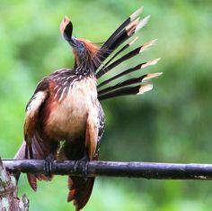 Foto cigana (Opisthocomus hoazin) por Mathias Singer | Wiki Aves - A Enciclopédia das Aves do Brasil