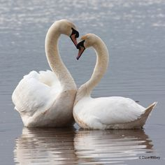 Swan Love, Beautiful Swan, Beautiful Birds, Animals Beautiful, Cute Animals, Swan Pictures, Bird Pictures, Animal Pictures, Cygnus Olor