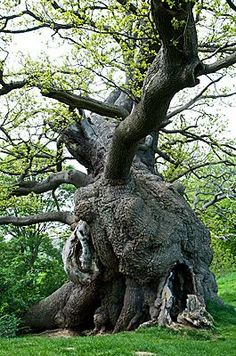 "Oak Tree 1539 moment love """" Oak Tree 1539 moment love "" Bristlecone Pine Tree On The Rim Of Crater Lake - Oregon Sleeping Dragon Happy Beltane! The Tribal Bowerbird — woman-taken-by-the-wind: Still he is standing. Weird Trees, Spooky Trees, Unique Trees, Old Trees, Tree Shapes, Tree Trunks, Nature Tree, Tree Forest, Tree Art"