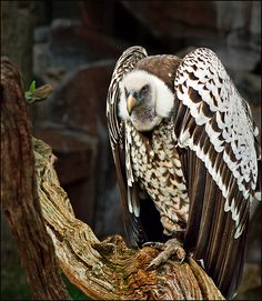 A beautiful pic of an #Old-World #vulture. #BirdsofPrey