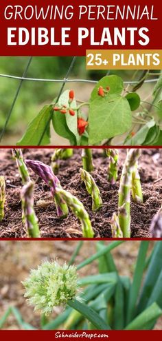 Perennial plants are plants that produce year after year - like fruit trees. But there are also perennial vegetables, herbs, and other fruit that can be planted once and harvested year after year. There are edible perennial plants that can be grown in every gardening zone. Use this list to find the best edible perennial plants to grow in your garden! #GardeningTips #Gardening Ideas #Homesteading #PerennialPlants
