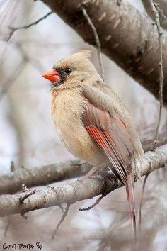 Lady Cardinal... by seepea on Flickr