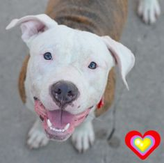 KILLED 7/20/15 Brooklyn Center CANE – A1044181 MALE, BR BRINDLE / WHITE, AM PIT BULL TER MIX, 9 mos OWNER SUR – EVALUATE, NO HOLD Reason NO TIME Intake condition EXAM REQ Intake Date 07/15/2015 ++++++++friendly, gives kisses+++++++ http://nycdogs.urgentpodr.org/cane-a1044181/