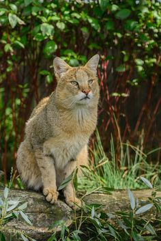 Cats And Cucumbers Refferal: 8008528008 Small Wild Cats, Big Cats, Cats And Kittens, Beautiful Cats, Animals Beautiful, Cute Animals, Chausie Cat, Melanistic Animals, Domestic Cat Breeds