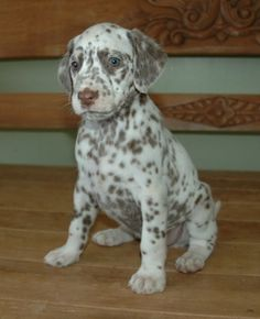 Probably the cutest puppy I've ever seen-great dane/dalmation mix.
