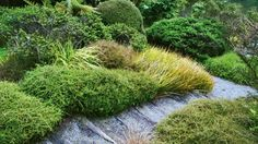 Pictured is a tumbling tapestry of natives at Ayrlies in Auckland, including gold drifts of Libertia peregrinans, mounds of clipped Muehlenbeckia astonii with Coprosma acerosa hybrids in the foreground. 'Hawera' is my favourite green – a stringy, mossy duvet of texture that contrasts well with Coprosma acerosa brunnea, the deepest brown cultivar. Coprosmas root as they go, so can be usefully propagated by spade.