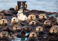 Een hond tussen de zeeotters