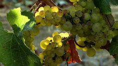 Stock Video Footage Wine Country 0206 HD https://vimeo.com/223952318?utm_content=bufferb36c6&utm_medium=social&utm_source=pinterest.com&utm_campaign=buffer