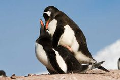 Mating Gentoon penguins at Port Lockroy, Antarctic Peninsula