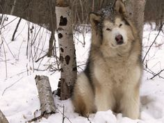 Wonderful All About The Siberian Husky Ideas. Prodigious All About The Siberian Husky Ideas. Giant Alaskan Malamute, Malamute Husky, Alaskan Husky, Siberian Husky Dog, Alaskan Malamute Puppies, Husky Breeds, Dog Breeds, Husky Mix, Husky Puppy