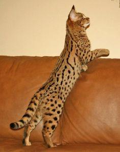 Frenchie- F1 Savannah #savannahcats #exoticcats #cats