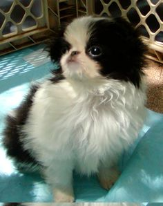 My little Japanese Chin, Emma.