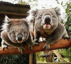 #Animals #Koala #Bear