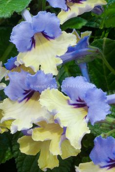 Harlequin Blue Iris / ATTRACTS: Orioles.  Plant with Flowering Dogwood Tree which attracts Downy Woodpeckers.
