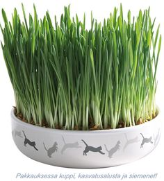 Hot Sale 100 Pcs Cat Grass Bonsai Rare Nutritional Foliage Plants Wheat Bonsais Indoor Garden Diy potted Plant For Pet Delicious Ceramic Decor, Ceramic Bowls, Planting For Kids, Cat Grass, Cat Feeder, Grass Seed, Organic Seeds, Cat Grooming, Herbs